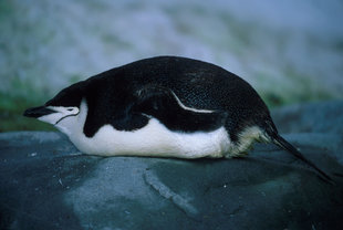 Lounging Chinstrap Penguin