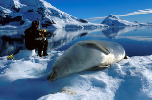 Lounging Crabeater Seal and Diver Antarctica