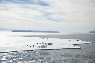 Emperors on the Ross Ice Shelf, Ross Sea