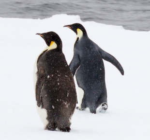 Emperor Penguins of the Ross Sea