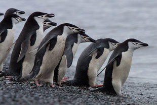 Chinstrap Penguins Ready to take the plunge Antarctica