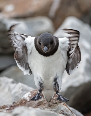 Little Auk in Spitsbergen - Jordi Plana