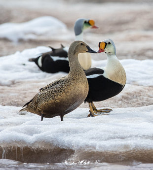 King Eider Ducks in Spitsbergen - Jordi Plana