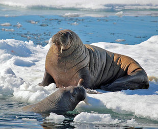 Walrus on Pack Ice
