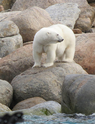 Polar Bear in Spitsbergen - Sally Attree