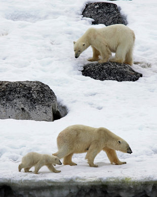 Polar Bear Family - Stuart Ward