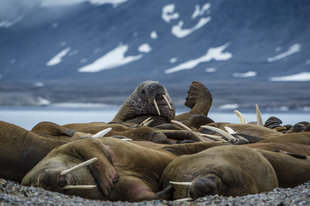 Walrus in Canadian High Arctic - Peter & Beverly Pickford