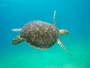 Turtle over Seagrass Beds, Nosy Sakatia - Ralph Pannell