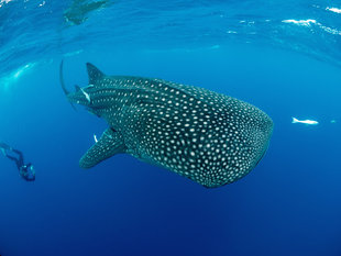 Whale Shark Researcher, Nosy Be - Ralph Pannell