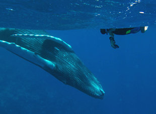 Snorkelling with Humpback Whales, Silverbanks - Rob Smith