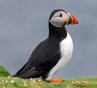 Puffin in Shetland Islands - Andrew Wilcock
