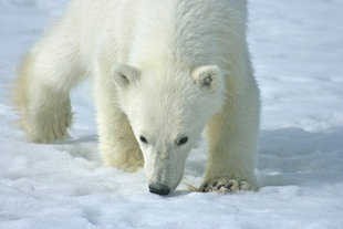 Polar Bear in Spitsbergen - Kelvin Murray