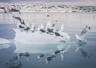 Kittiwakes on Iceberg - Steven Ashworth
