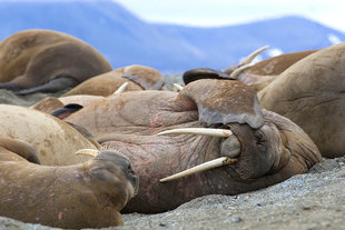 Walrus in Canadian High Arctic - Ira Meyer