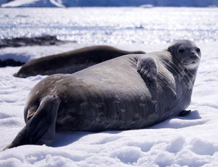 Lazing Seal Antarctica