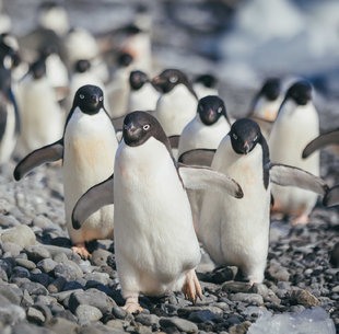 Parading Adelie Penguins Antarctica