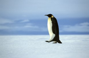 Emperor Penguin Weddell Sea Antarctica