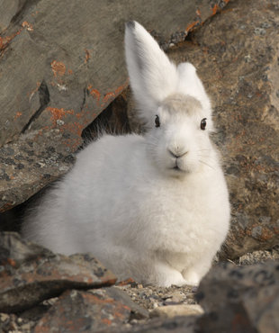 Arctic Hare, Andy Davies