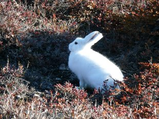 Arctic Hare Greenland, Rob Tully