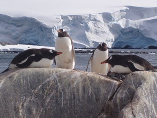 Lounging Gentoo Penguins Antarctica