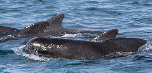 Pilot Whales Iceland