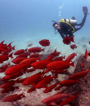 Diver & Red Fish Seychelles Carina Hall