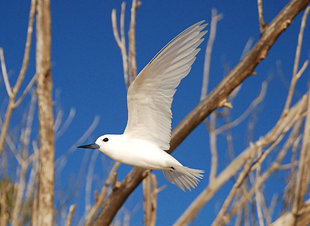 Fairy Tern Birdlife Seychelles Doug Howes