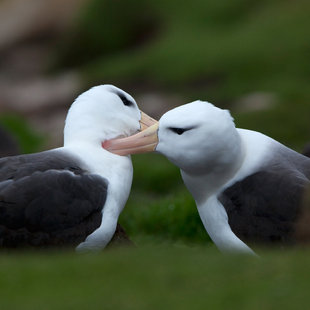 Black-browed Albatross pair