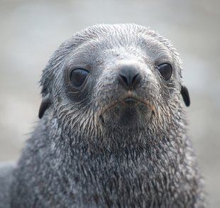 young-fur-seal-falklands-islands.jpeg