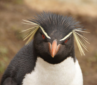 saunders-island-macaroni-penguin-antarctica-falklands-south-georgia-wilderness-wildlife-expedition-jan-de-groot.jpg