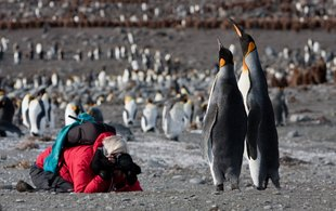 Photographing King Penguins