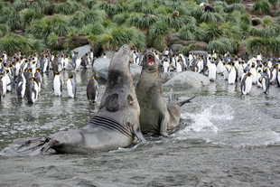 Elephant Seals, Gold Harbour, South Georgia