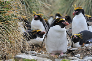 macaroni-penguins-cobblers-cove-south-georgia-voyage-antarctica-wildlife-marine-life-expedition-voyage.jpeg