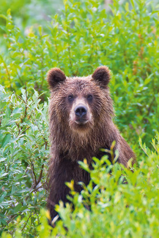 kamchatka-brown-bear-wilderness-wildlife-polar-arctic-russian-far-east-voyage-cruise-holiday.jpg