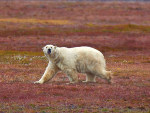 Polar Bear-Wrangel-Island-Arctic-Russian-Far-East-Polar-cruise-holiday-voyage-wildlife.jpg