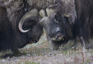 wildlife-wilderness-voyage-cruise-holiday-russian-dar-east-musk-ox.jpg