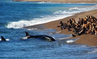 beached-orca-killer-whale-peninsula-valdes-argentina.jpg