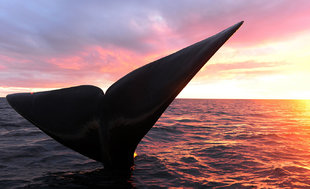 whale-tail-peninsula-valdes-argentina.jpg
