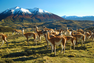 guanacos-torres-del-paine-national-park-patagonia-chile-wilderness-holiday.jpg