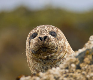 harbour-seal-russian-far-east-wildlife-marine-life-voyage-cruise-holiday-arctic-polar.jpg