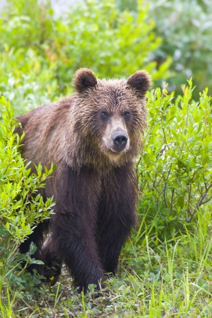 Kamchatka-Brown-bear-wilderness-wildlife-polar-arctic-russian-far-east-voyage-cruise-holiday-expedition.jpg