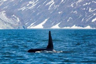 Whale-watching-marine-life-russian-far-east-wildlife-wilderness-Kamchatka-arctic-polar-cruise-holiday.jpg