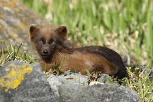 Arctic-Fox-Russian-Far-East-Kamchatka-Wildlife-Wilderness-marine-life-holiday-Arctic-polar-cruise-holiday.jpg