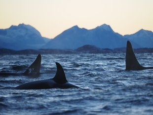 Orcas, Northern Norway