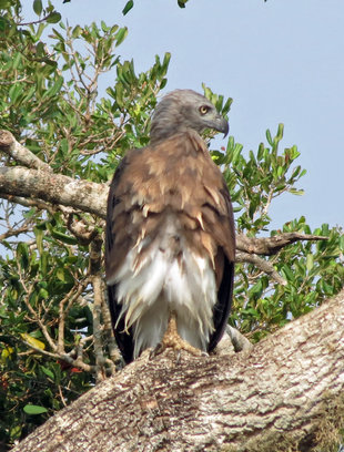 Grey Headed Fish Eagle - Ralph Pannell