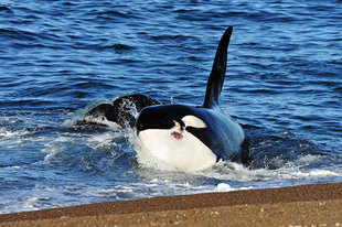 orca-killer-whale-peninsula-valdes-argentina-patagonia.jpg