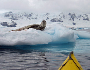 Leopard Seal watching a kayaker in Antarctica