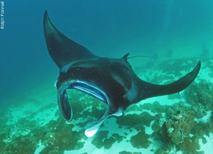 Manta Ray in Komodo - Ralph Pannell