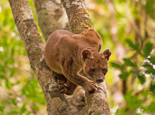 Female Fossa in Mantadia National Park - Ralph Pannell