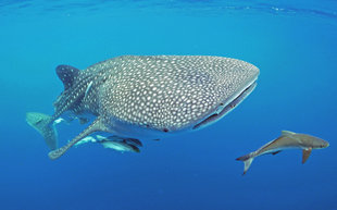 Whale Shark with Remora, Nosy Be - Ralph Pannell
